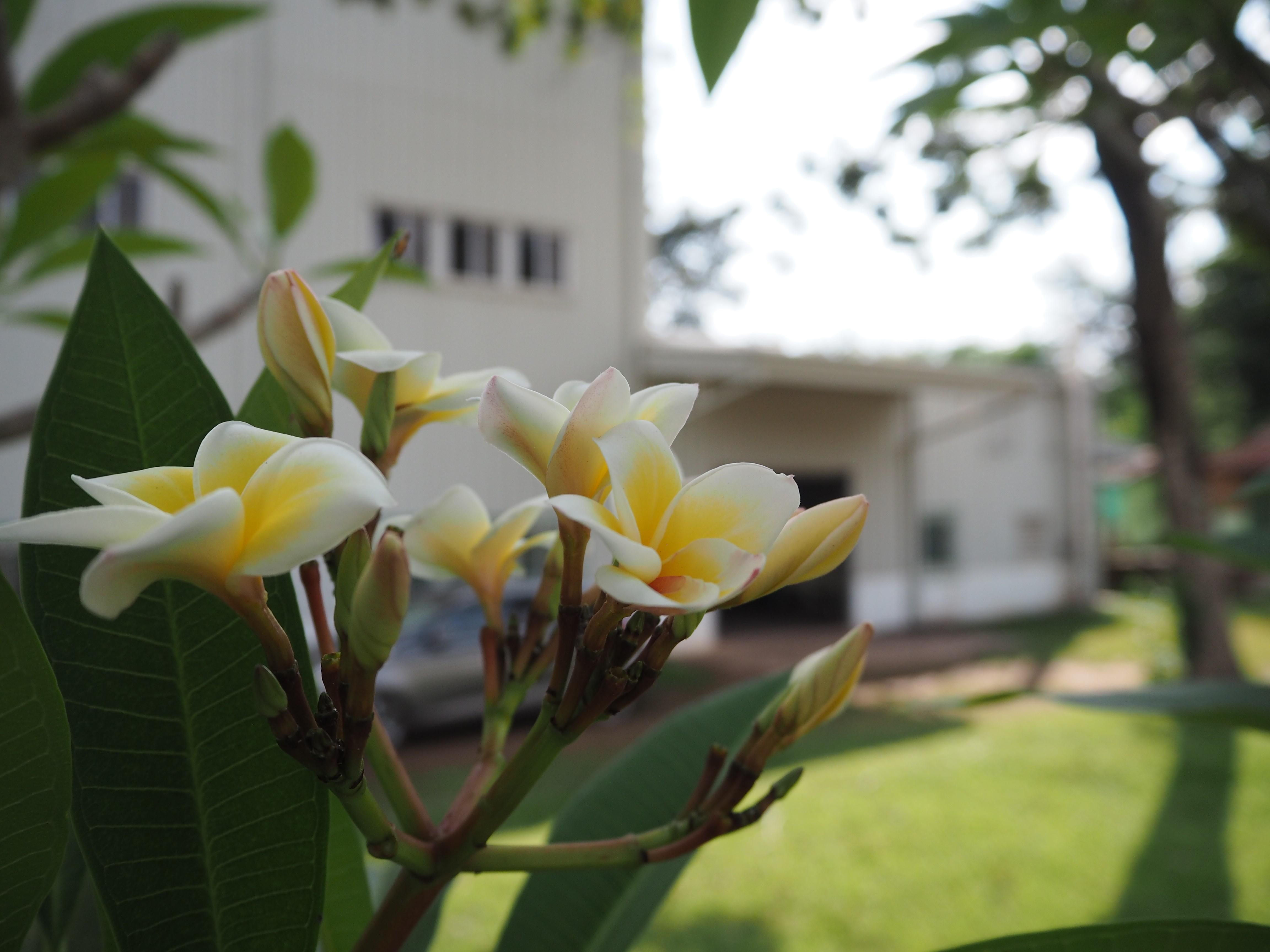 Champa-flower