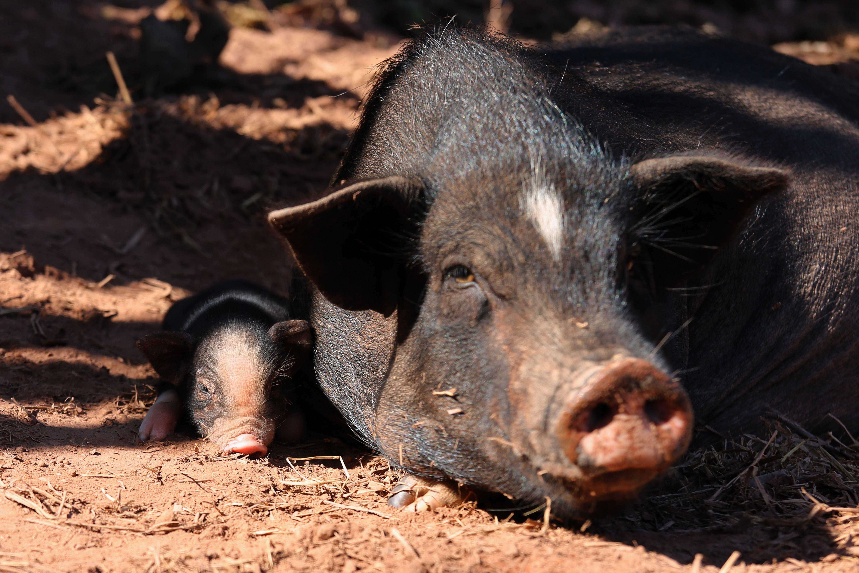 Pig-laos